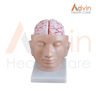 Human Brain With Arteries On Head Model